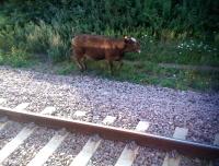 Инциденти със селскостопански животни на жп прелези